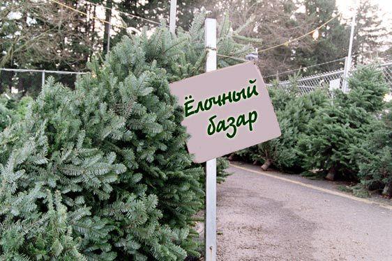 Для новогодних праздников в РМ заготовлено 50 тысяч натуральных елок