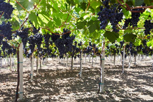 Виноград, выращенный по передовым технологиям, подорожает на 30-40%