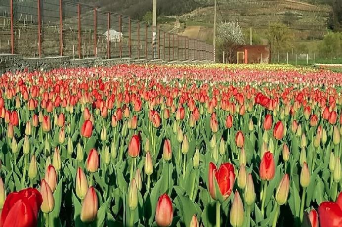 Цветочный бизнес в селе Бардар оказался на грани исчезновения
