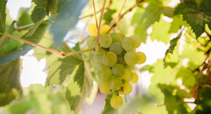 Экспорт молдавского винограда и фруктов в Румынию увеличился на треть