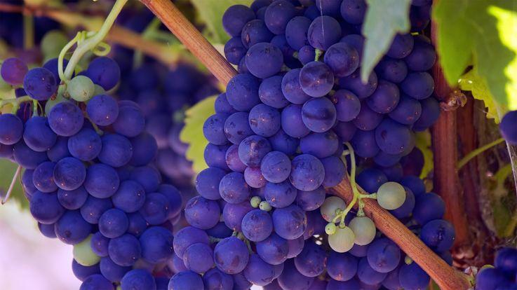 В Молдове на промпереработку ушла почти половина винограда