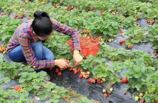 К уборке урожая ягод будет привлекаться рабочая сила из-за рубежа