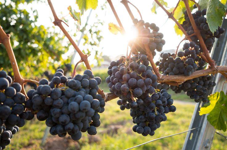 В Молдове создали Регистр виноградарства