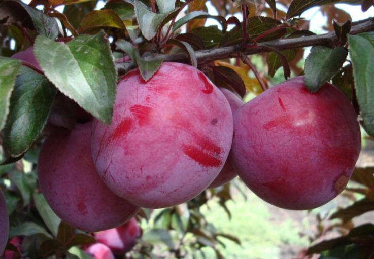 Сливовые сады европейского качества планирует посадить фермер из Молдовы