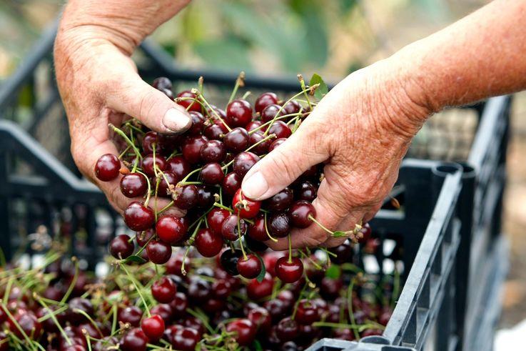 Экспорт клубники и черешни из Молдовы приостановлен