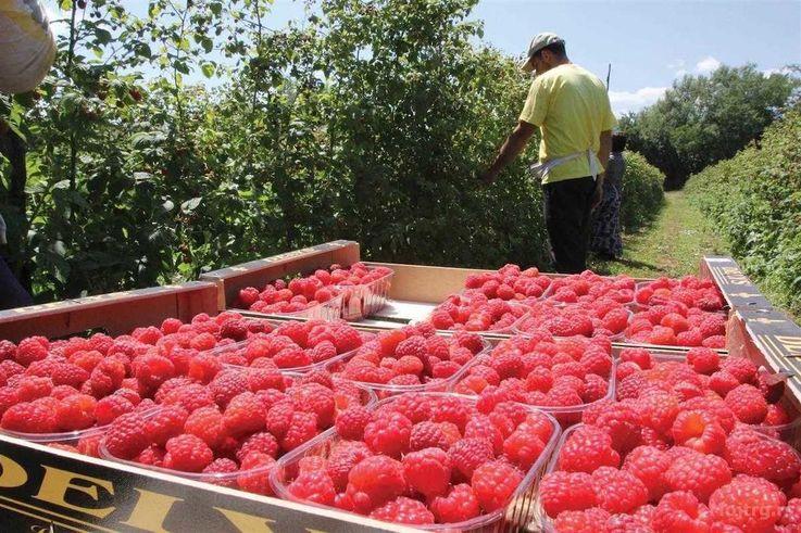 В Молдове выросла цена на малину