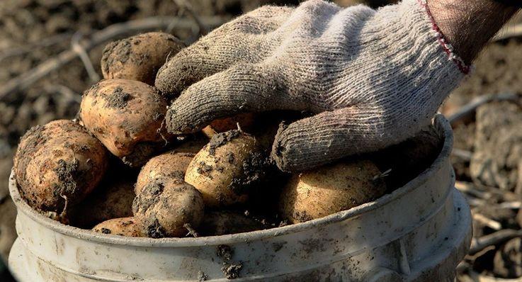 В Молдове резко сократилось производство картофеля
