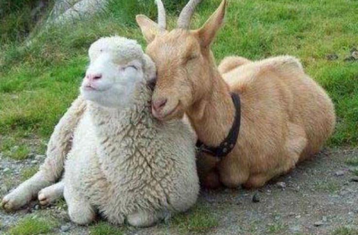 Редкие и дорогие породы овец и коз были выставлены в Чимишлии