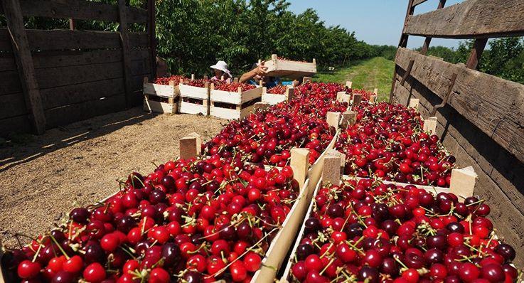 Молдова планирует значительно потеснить Украину в экспорте вишни в ЕС