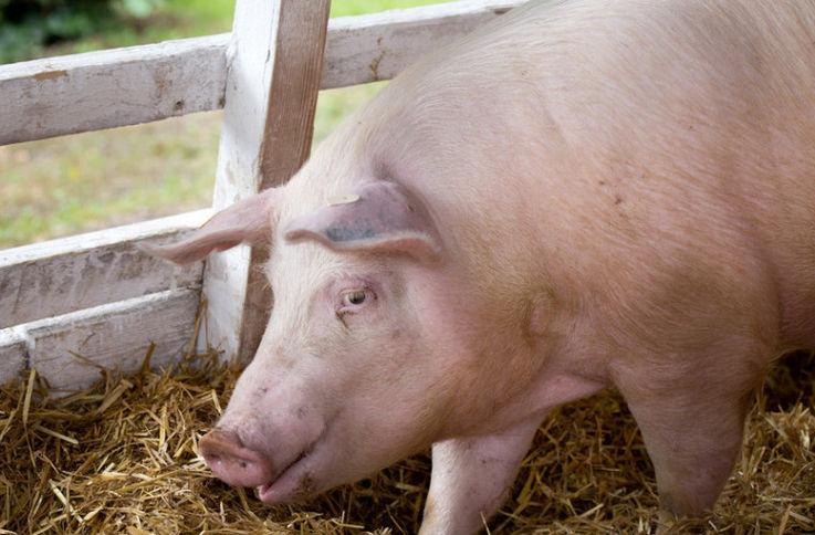 Китайский фермер стал миллиардером благодаря вспышке свиной чумы