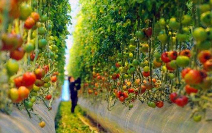 Жительница Молдовы вырастила в теплице помидор веcом почти 1 кг