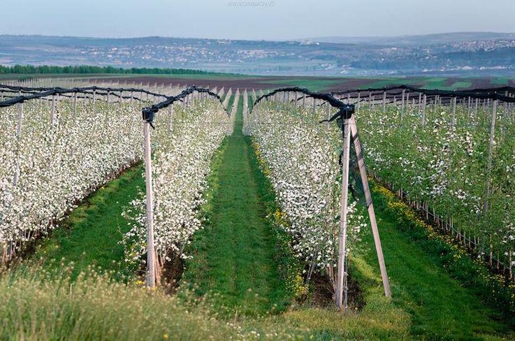 В РМ снижена оценка урожая яблок, из-за нехватки капельного орошения