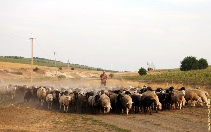 Животноводство в Молдове теряет свою рентабельность