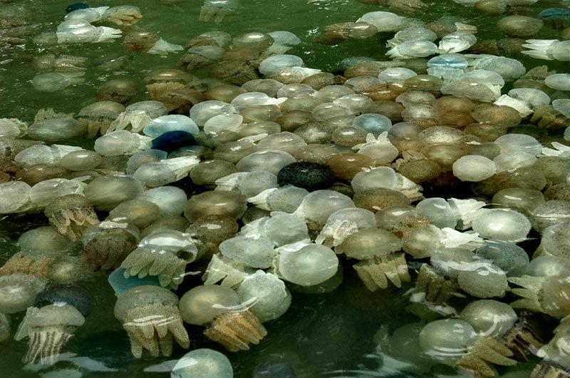 родословная медузы в тайланде фото помещения