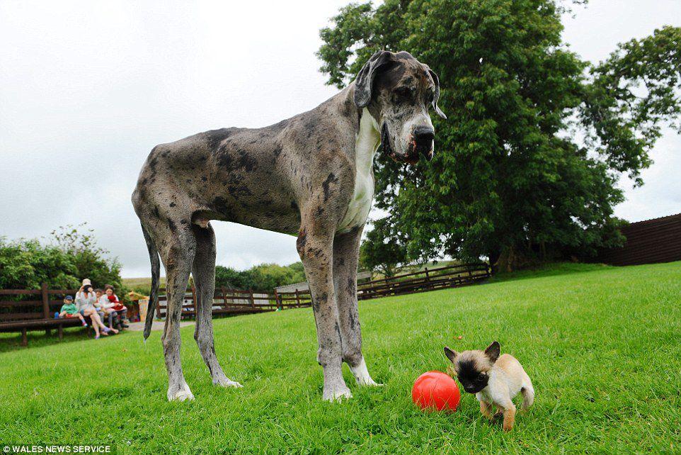 «Самый высокий» пес встретился с самой маленькой собакой