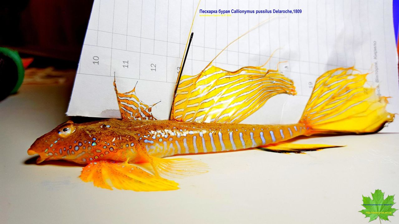 На одесском пляже нашли редкой красоты краснокнижную рыбу
