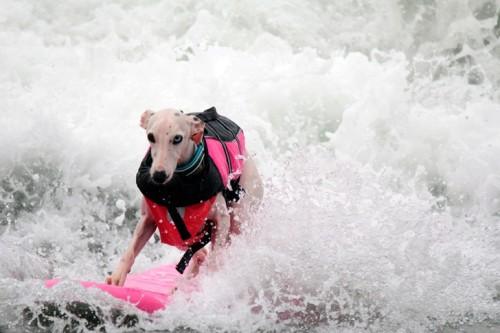 соревнований по серфингу среди собак, калифорния