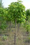 cumpără Catalpa bignonioides globulară în Chișinău