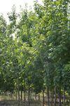 cumpără Stejar roșu american în Chișinău