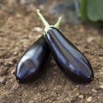 Шарапова F1 (100 семян)