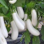 Аретуза F1 (100 семян)