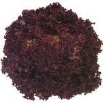 Констанс RZ (1000 семян)