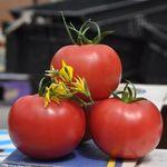 Пинк Клер F1 (1000 семян)