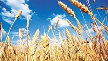 Preţul grâului a trecut de 210 euro/tonă, prima dată în ultimii 5 ani