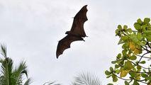 Cercetătorii recoltează mostre de lilieci pentru a găsi originea COVID