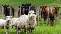 Cum vor salva oile Latxa planeta de poluare cu plastic și poliester