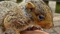 Un bărbat din Cambridge a devenit baby sitter pentru o veveriță
