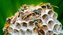Bătăi de cap pentru locatarii unui bloc din cauza unui roi de viespi