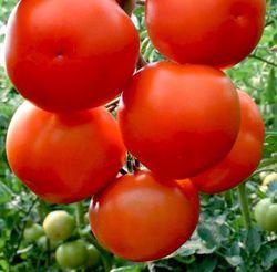 Lilos F1 (1000 semințe)