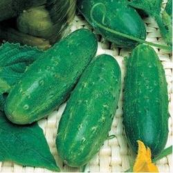 Levina F1 (1000 semințe)