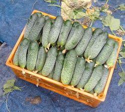 Merengue F1 (1000 semințe)