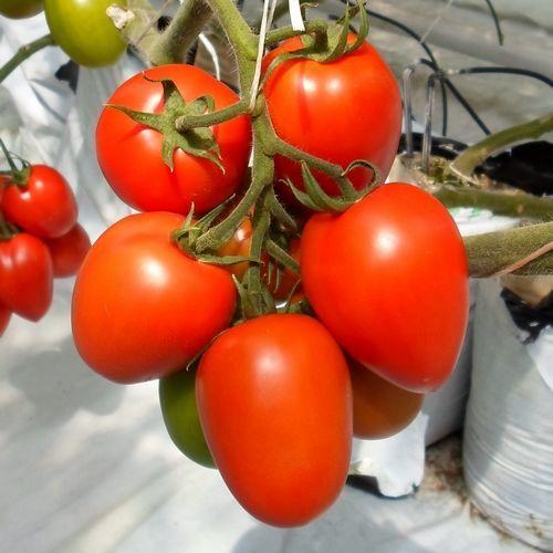 Тукано F1 (1000 семян)