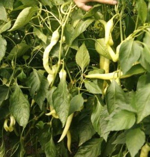 Янка F1 (100 семян)