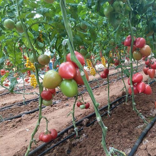 Конго F1 (1000 семян)