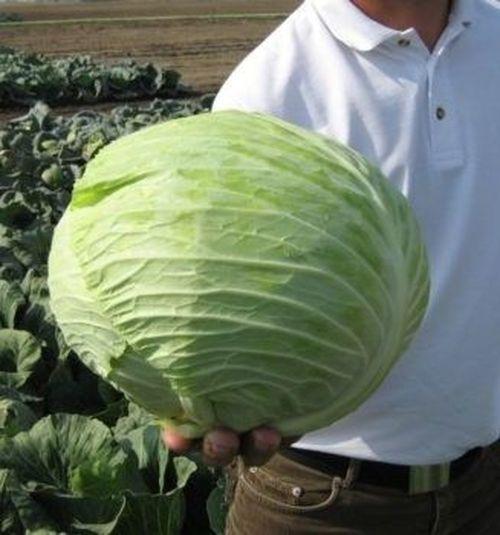 Зулейма F1 (2500 семян)