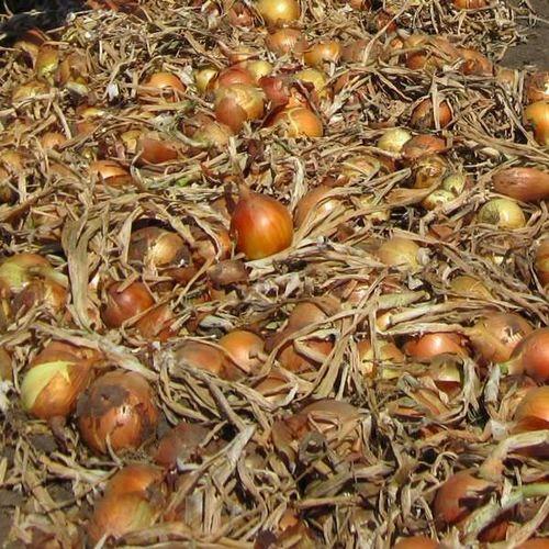 Замбези F1 (250000 семян)