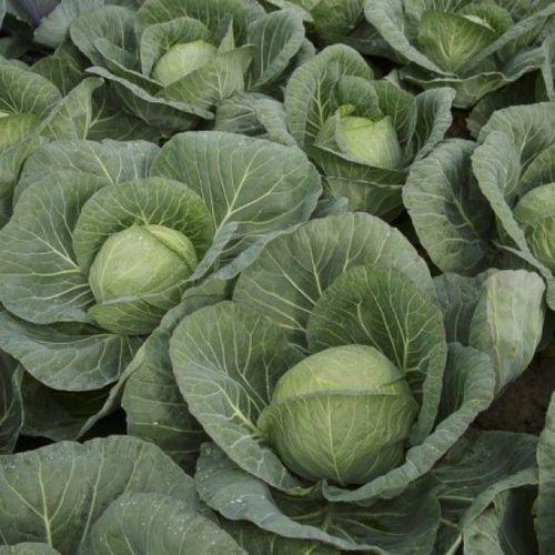 Болерома F1 (2500 семян)