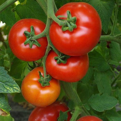 Аламина F1 (1000 семян)