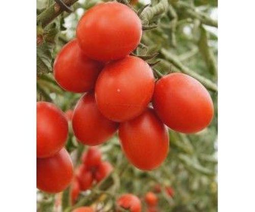 6 Пунто 7 F1 (1000 семян)