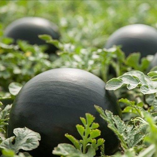 Лориан F1 (1000 семян)
