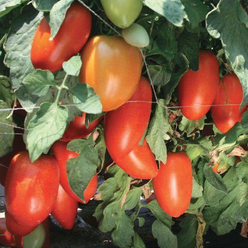 Тиго F1 (1000 семян)