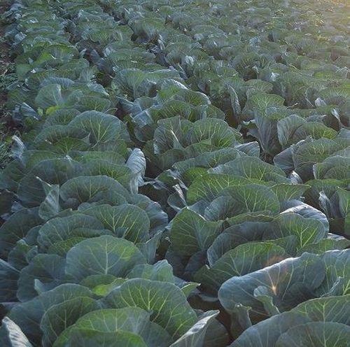 Грепала F1 (2500 семян)