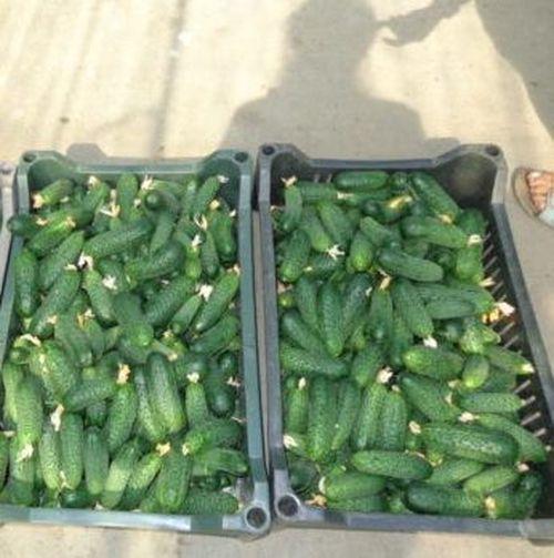 Кибрия F1 (250 семян)