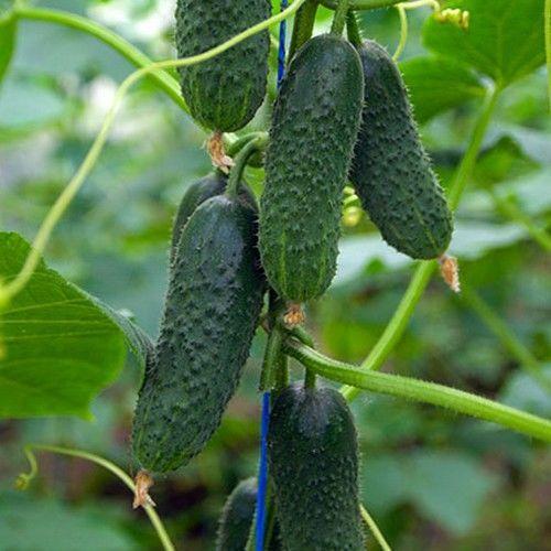 Туми F1 (500 семян)